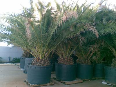 Mp plant offerte piante piante da frutta bonsai for Offerte piante da giardino